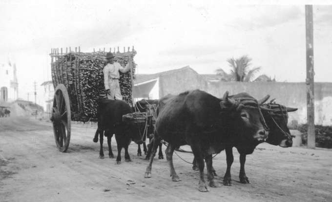 Photo from the Braga Brothers Collection of Hauling sugar cane, Cuba